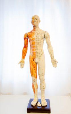 Anatomiemodell mit Meridianen